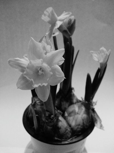 Flower Plant Flower Head Indoors  Narcissus Flowers Lent Lily Daffodils Flowers Spring Springtime