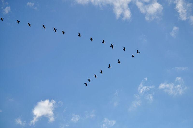 Silhouette flock of birds flying against sky