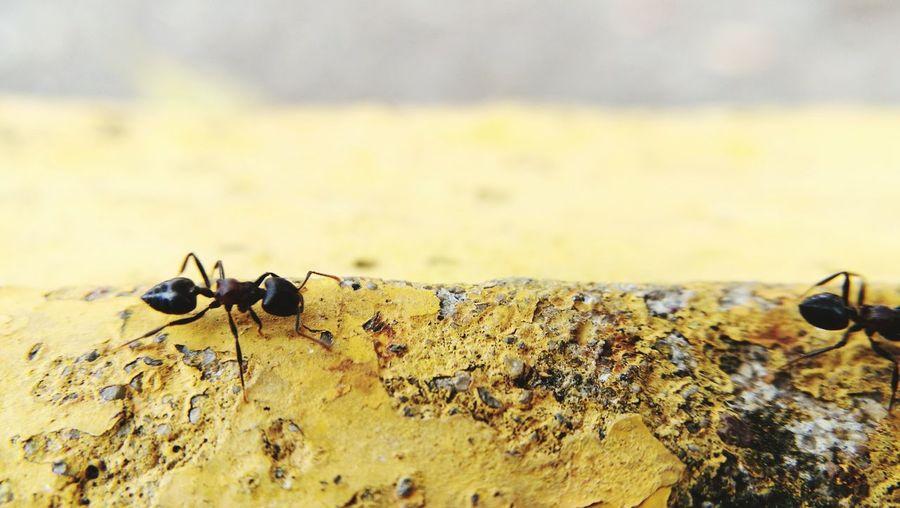 black ant is