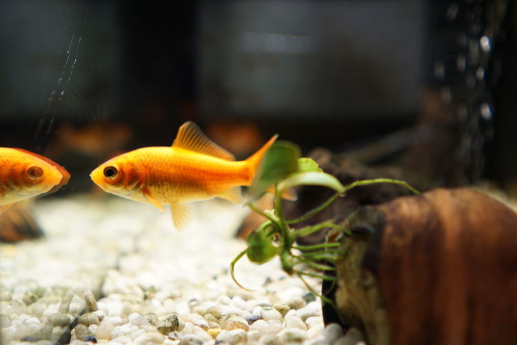 Close-up of orange fish swimming in tank