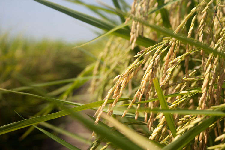 EyeEmNewHere Beauty In Nature Farm Focus On Foreground Growth Nature Plant Wheat