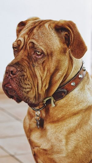 Dog Pets Domestic Animals Mammal Animal Themes One Animal No People Brown Indoors  Close-up Pet Collar Day EyeEmNewHere