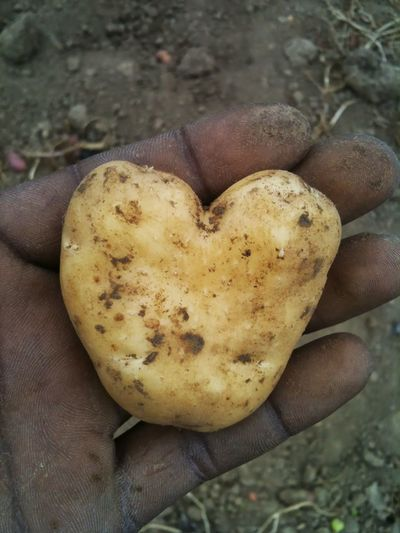 Close-up of cropped dirty hand holding heart shape potato