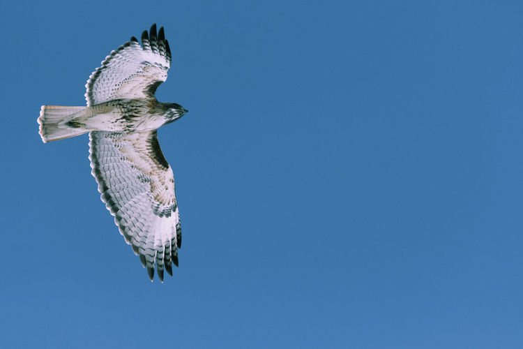 Red-tailed hawk flying on a cold winter day near Denver, Colorado Animal Sky Animal Themes One Animal Animals In The Wild Vertebrate Blue Clear Sky Animal Wildlife Low Angle View Copy Space No People Flying Nature Day Mid-air Spread Wings Outdoors Bird Animal Body Part Directly Below Marine