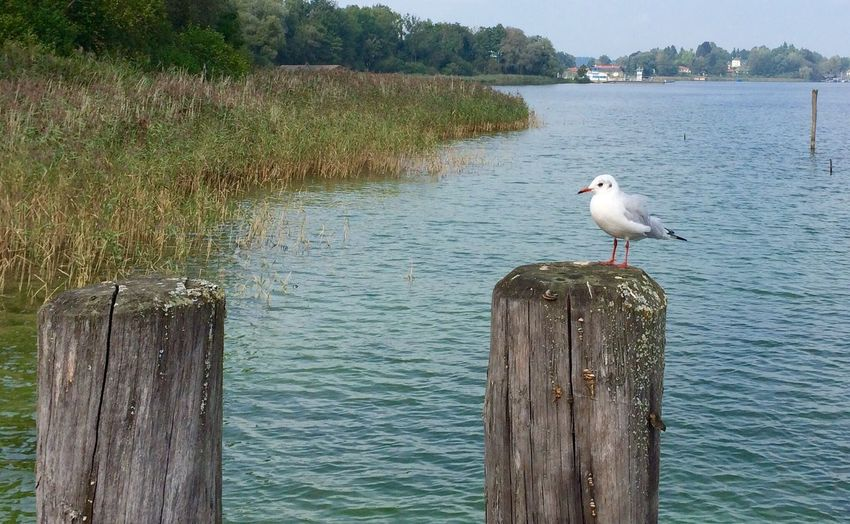Lake Nature Seagull