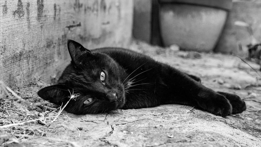 Black Bolt. ❤️ Love Looking At Camera Blackandwhite Photography Pet Portraits EyeEmBestPics Eyes Canon5Dmk3 Goodmorning :) BLackCat Cat One Animal Animal Themes Animal Mammal Domestic Animals Domestic Vertebrate Pets Relaxation Day Black Color Outdoors Portrait Lying Down Resting No People