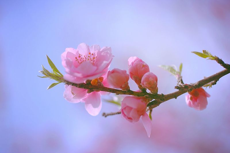 Blossom Flower Collection Colors Spring 春 Spring Colours 桜 Pink Sakura Cherry Blossoms