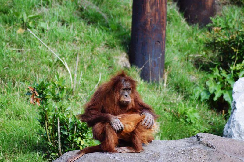 Orangutan sitting in a row