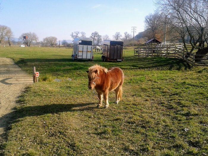 pony Pony Tree Standing Agriculture Sky Grass Livestock Farmland Livestock Tag Growing Horse Grazing