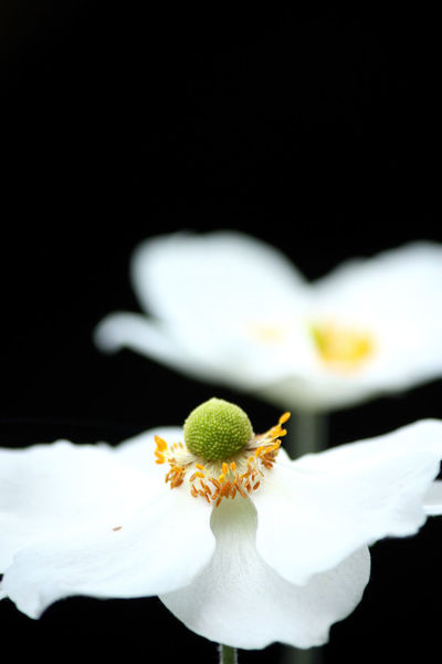 Japanese Anemone Anemone Beauty In Nature Black Background Blooming Close-up Flower Flower Head Focus On Foreground Fragility No People Pollen White Color