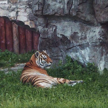 Tiger Wild Animal Zoo Big Cat