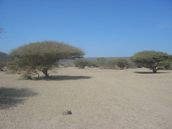 Djibouti Clear Sky Tranquility Tranquil Scene Outdoors Tree Landscape Day Nature Sand Beauty In Nature No People Scenics Desert Sky