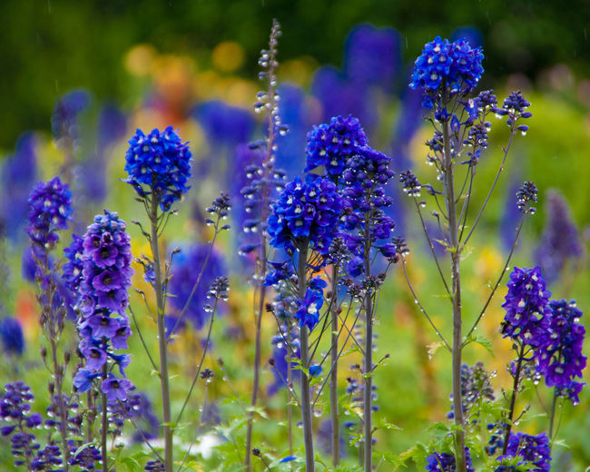 Purple flowers growing on field