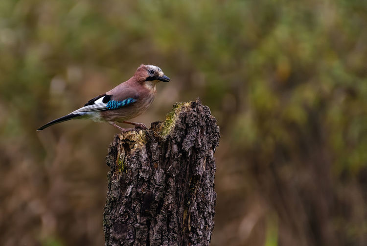 Eurasian jay close up on a tree trunk in a forest