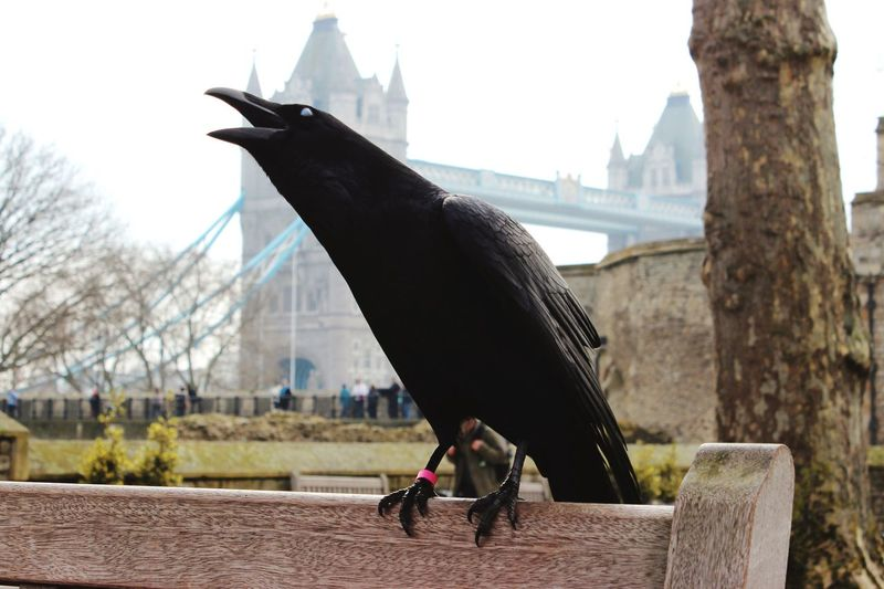 Raven perching on bench against tower bridge in city