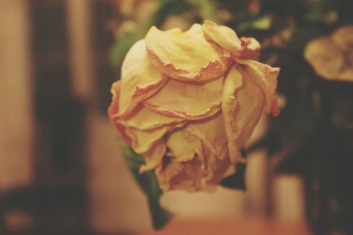 Dying rose Flower Head Flower Close-up Plant Wilted Plant Single Rose Dried Plant Wilted Dry Dried Dead Plant Plant Life Blooming Petal Rose - Flower