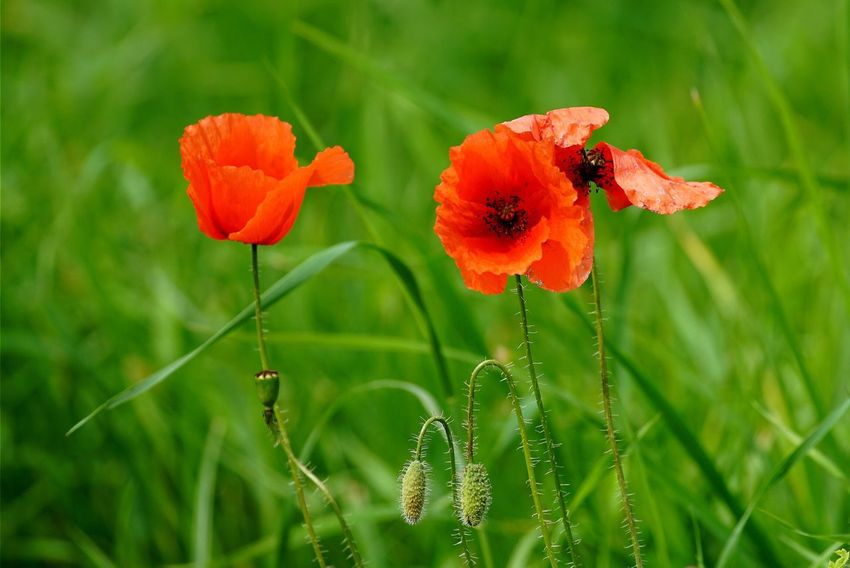 Poppy Poppy Flowers Flowers Flower Flowers,Plants & Garden Eye4photography  Tadaa Community AMPt_community Open Edit
