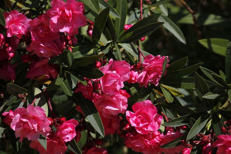 Oleander,Germany