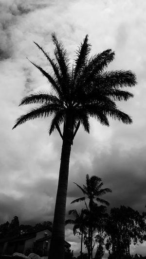 Blackandwhite Photography Palm Trees Hawaii Big Island Waikoloa Ominous Sky Ominous Clouds
