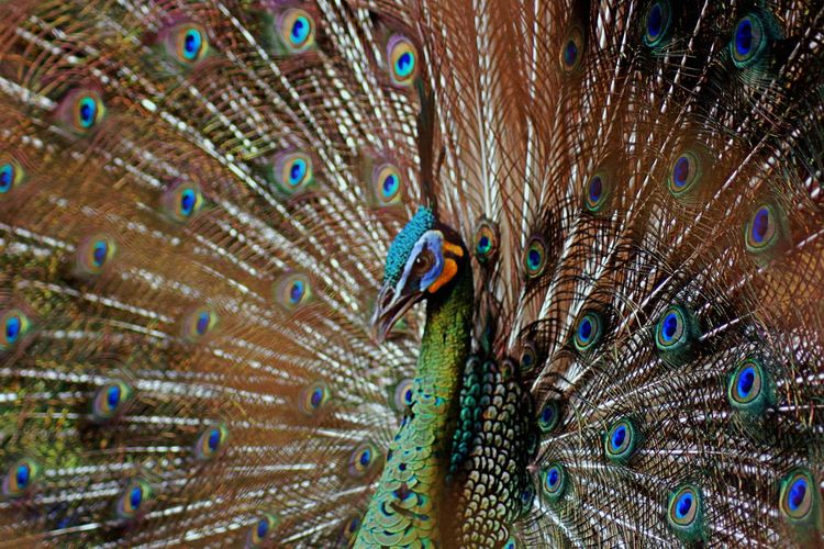 Green peafowl fanning out it's tail