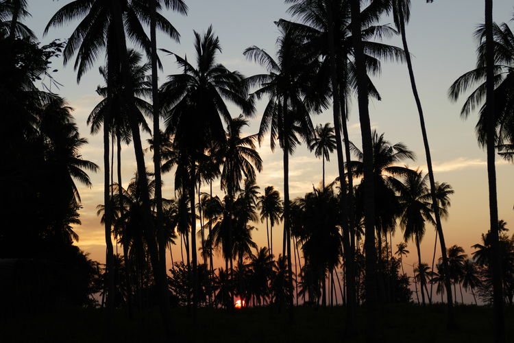 Tree Palm Tree Tropical Climate Sky Silhouette Beauty In Nature Sunset Growth Nature Scenics - Nature No People Idyllic Outdoors Low Angle View Tropical Tree Palm Leaf Sun Coconut Palm Tree Plant Tranquility Tranquil Scene Land Koh Samui,Thailand Tropical Paradise Travel Destinations Travel Photography Holiday Moments Vacation Time Colorful Sky Evening Sky