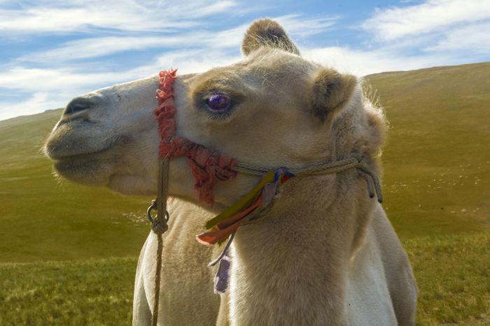 6000*4000@300dpi RWA Nature Grassland Animal Camel Face