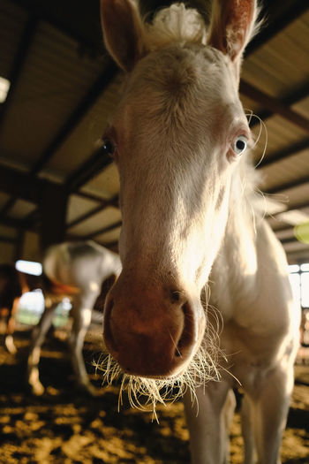 Close-up portrait of a horse in stable