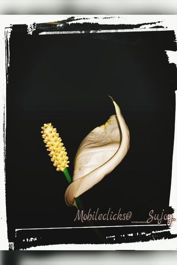 Beauty of peace lily... Glows back to life by resisting the darkness around Peace Lily Darkness And Light Flower Head Resist Out Of The Box