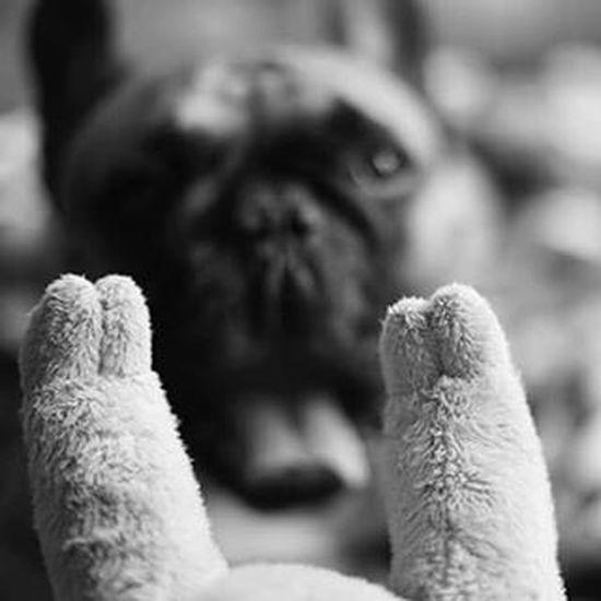 FrenchKiss  Gtcompany GTC Bullwatch Frenchzone Gonzothunder Frenchzoneonly Frenchielove Crazyfrenchielovers Frenchbulldog Frenchbulldogs Frenchie Frenchies Canon 50mm Doggie Dogs Dogsareawesome Gtcompany