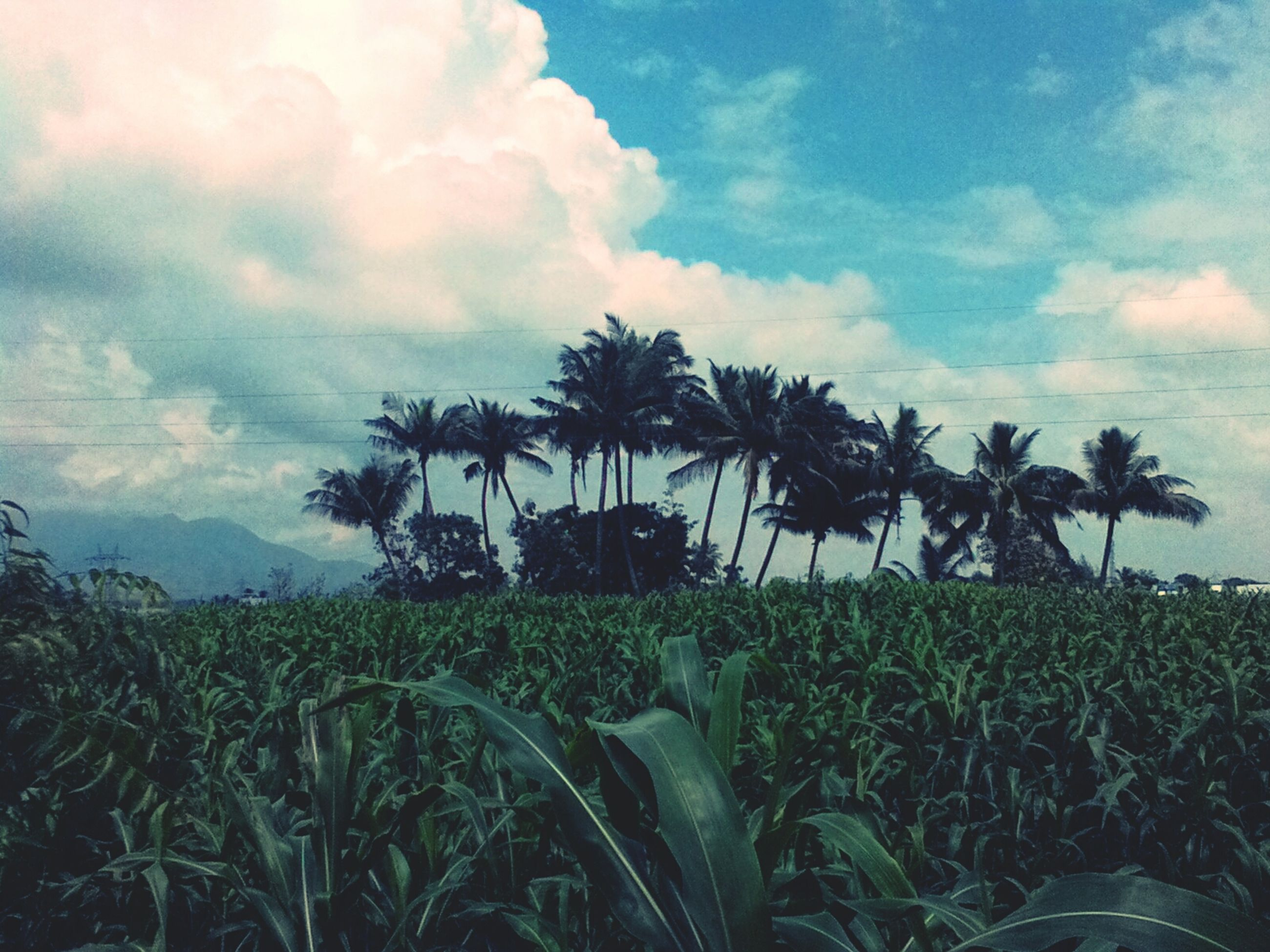 sky, palm tree, cloud - sky, growth, grass, tranquility, field, tree, cloudy, cloud, nature, tranquil scene, green color, beauty in nature, plant, scenics, landscape, no people, outdoors, growing