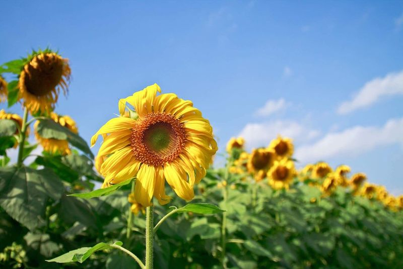 Sunflower Flower Flower Head Fragility Nature Plant Petal Growth Beauty In Nature Sunflower Yellow Freshness Field Day Sky Outdoors Close-up Blooming Focus On Foreground No People Rural Scene