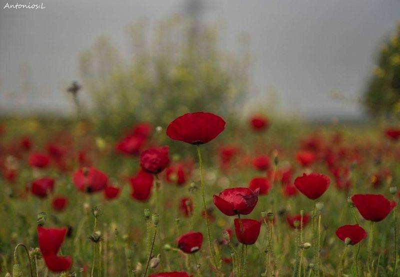 Plant Red Flower Poppy Flowering Plant Nature Freshness