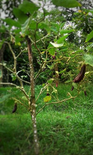 Green Color Nature Plant Freshness Tree Close-up Cucumber Plant Cucumber Tree Cucumber