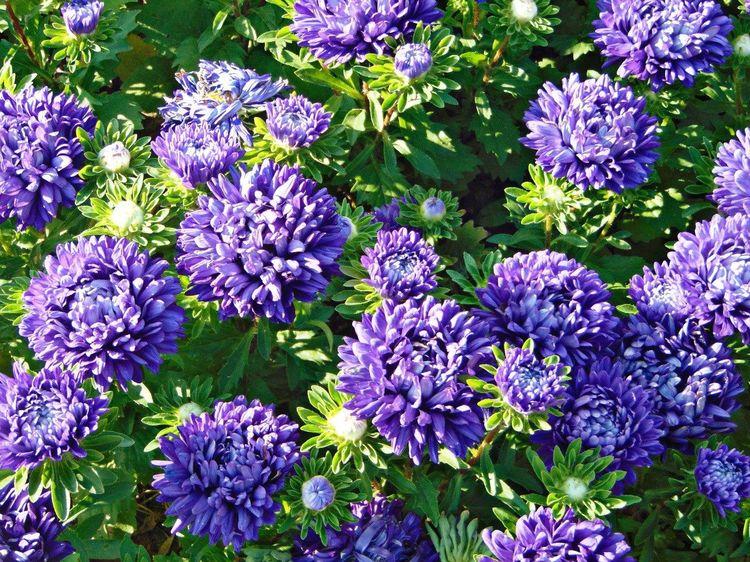 фиолетовый астры растения зелень  Природа красота цветы