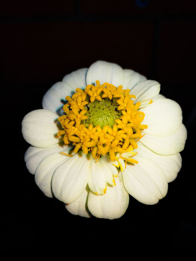 Close-up of yellow flower blooming against black background