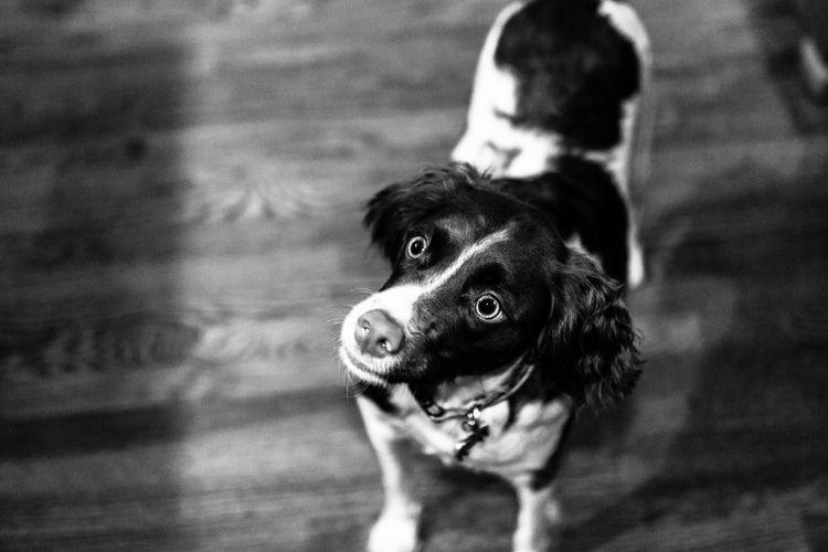 I'm Hungry!!! Dogs Pet Pets Blackandwhite