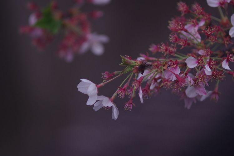 めぐろがわ Flower