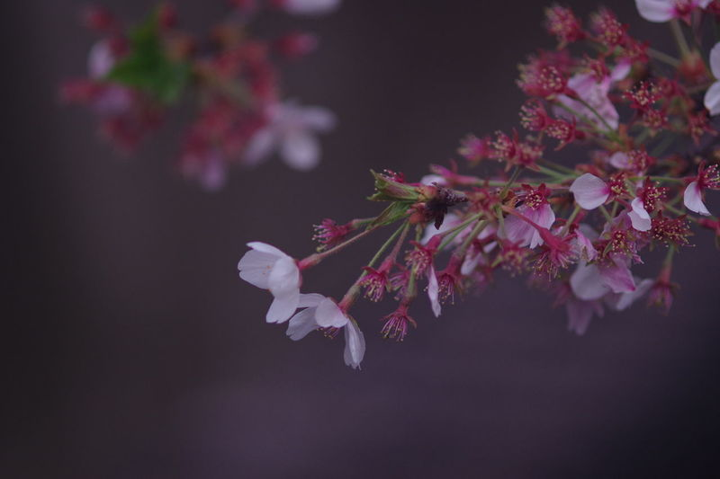 めぐろがわ Flower Tree Flower Head Branch Springtime Pink Color Close-up Cherry Blossom Blossom