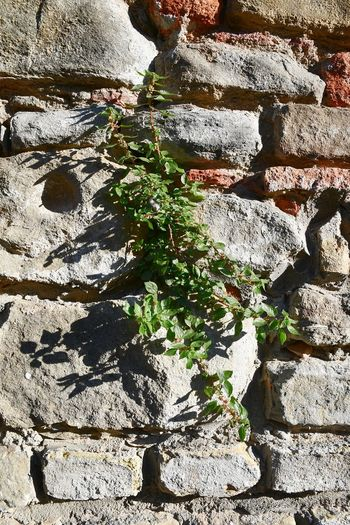 Brick Wall Sunny Plant On The Wall Nature Strength Old Wall Scraped Wall Textures And Surfaces Wall Day Sunlight Outdoors Shadow No People Full Frame Nature Backgrounds Close-up