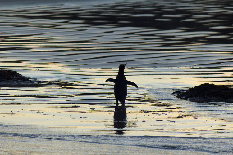 Silhouette Reflection Beach Outdoors Beauty In Nature Bird Animals In The Wild Animal Wildlife New Zealand Penguin Yellow Eyed Penguin Catlins Coast Worlds Rarest Penguin