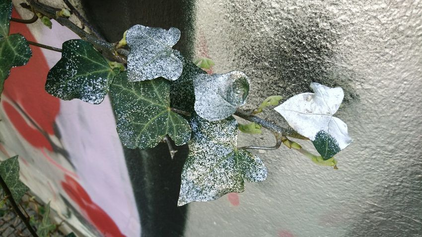 Silver ivy Coloring Silver Colored Streetphotography Streetart Graffiti Graffiti Leftovers Close-up Architecture Building Exterior Plant Blooming Ivy