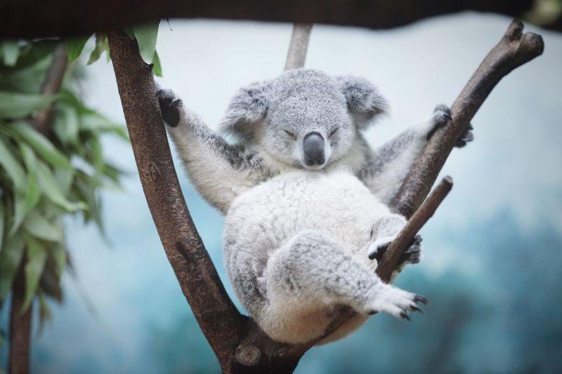 Close-up of coala bear sleeping on tree