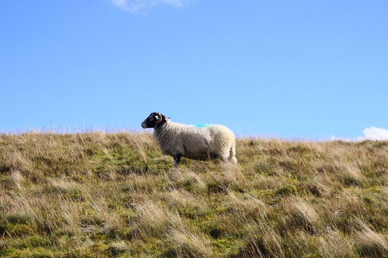 Sheep on grassy field against sky at cumbria