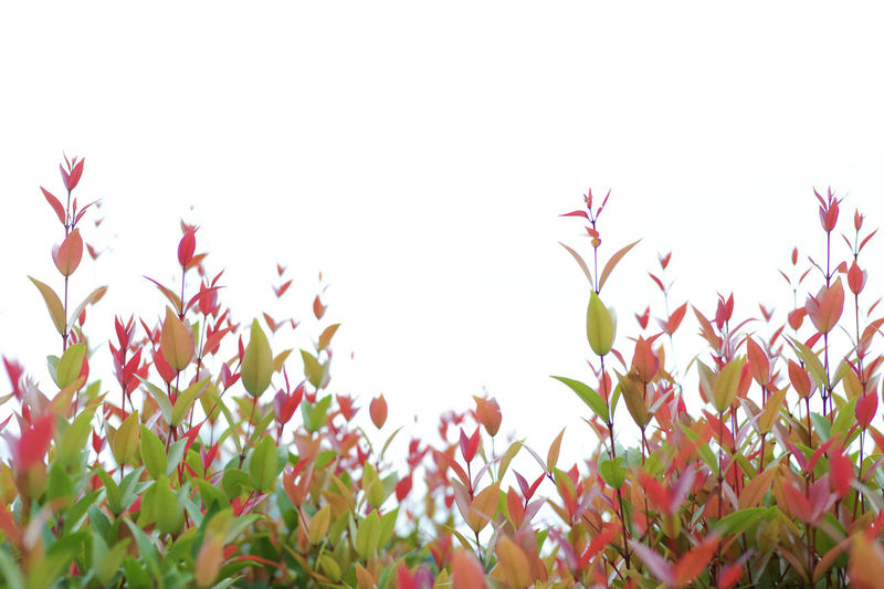 Low angle view of pink flowering plants against clear sky