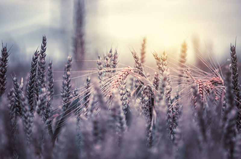 Close-Up Of Wheat Growing Against Sky At Sunset During Winter
