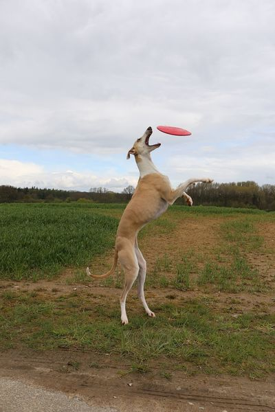 funny galgo is playing frisbee in the nature Feld Frisbee Funny Galgo Galgo Español. Weg Wiese  Action Active Catching Day Dog Fangen Galgoespañol Jumping Nature Outdoors Pets Playing Sighthound Sky Springen Straße Windhund Witzig