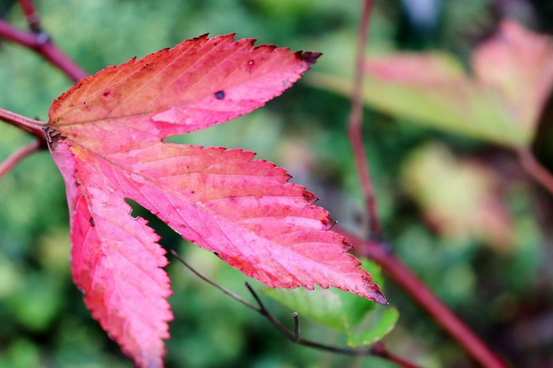 Pink Color Leaf 🍂 🍁🍂autumn Outdoors Nature_collection Beauty In Nature Reaf Photography EyeEm Nature Lover