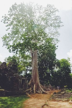 Angkor Beauty In Nature Cambodia Day Growth Landscape Nature No People Outdoors Scenics Sky Tranquility Tree Tree Trunk