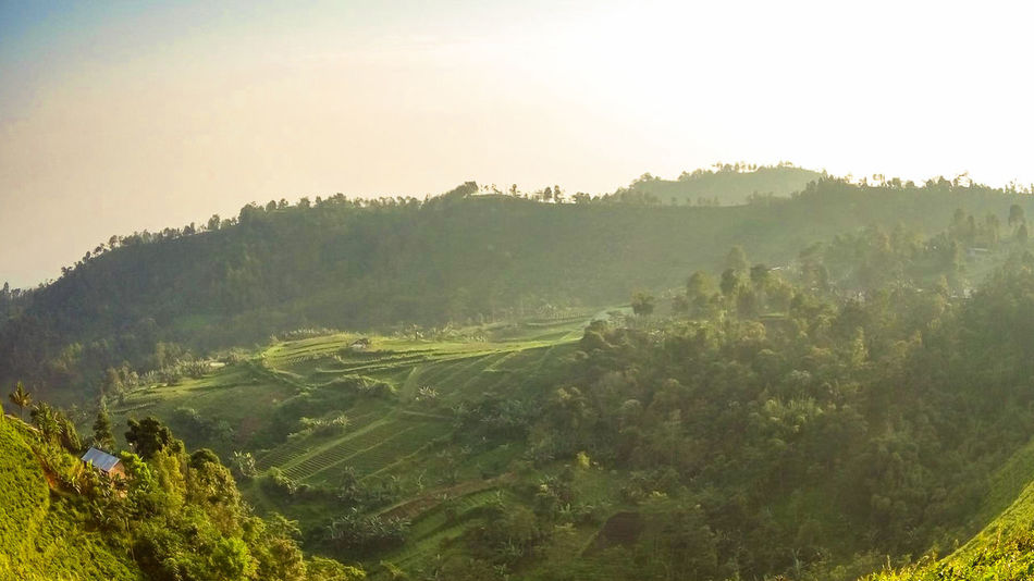 Pinaceae Nature Landscape Pine Woodland Mountain Beauty In Nature Forest Tree Outdoors No People Freshness Morning Dew Indonesia Scenery Hills And Valleys Landscape Photography Tropical Climate Foggy