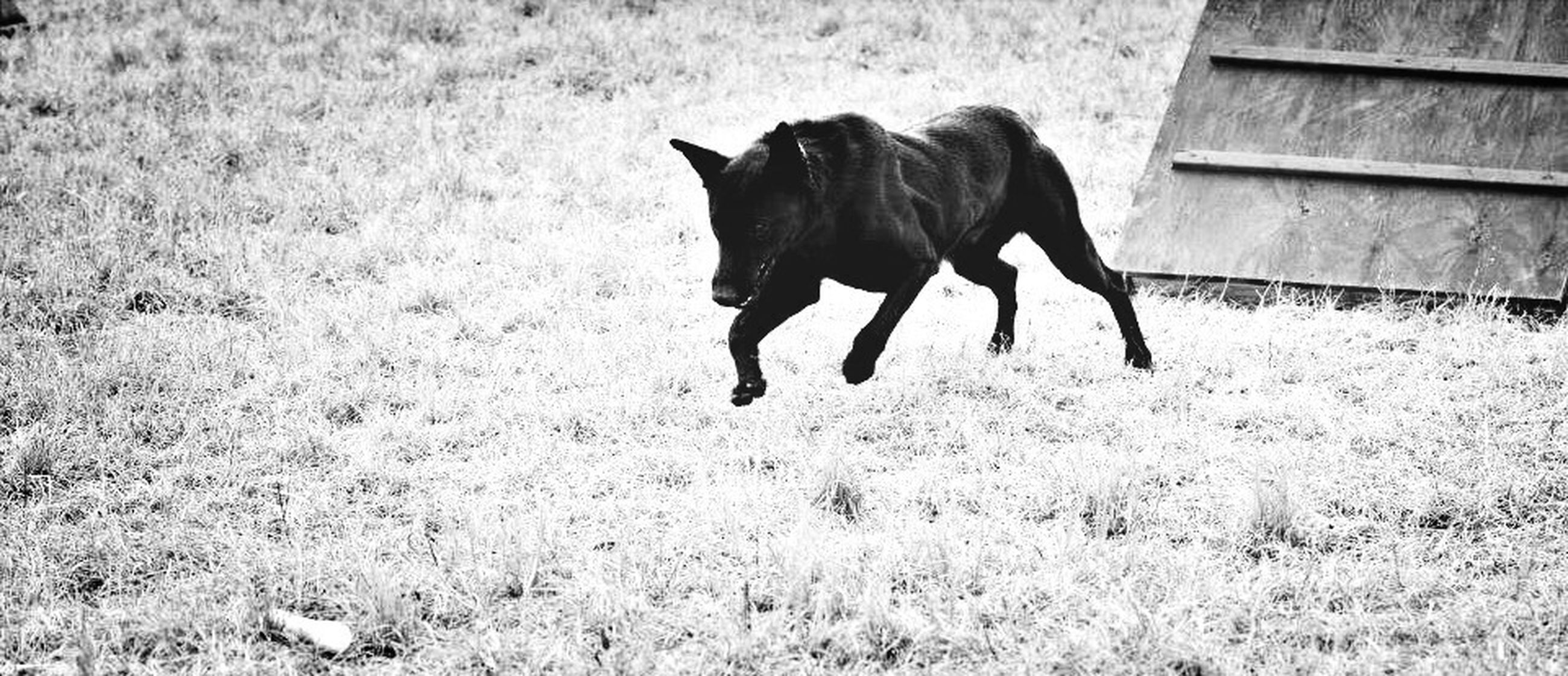 domestic animals, animal themes, one animal, mammal, pets, dog, field, grass, black color, full length, standing, side view, no people, day, outdoors, grassy, horse, animal, zoology, nature